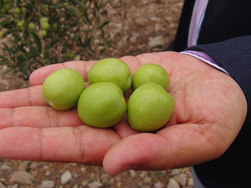 La campaña de la aceituna aloreña arranca con una producción menor pero de mayor calidad